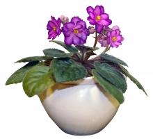 Pl001 - African Violet